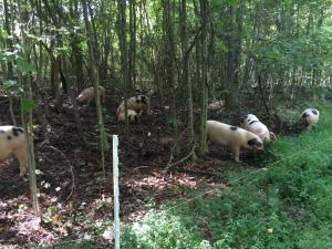 "Our pigs are finished in the woods where they dine on acorns and other natural foods.  We call them ""Timber Raised Pork""!"